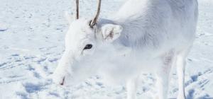 Babbo Natale arriva su una renna bianchissima ... gli scatti dalla Norvegia