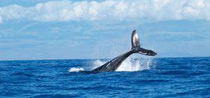 Nuova Zelanda: spiaggiamento di massa di 150 balene pilota