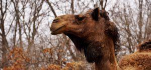 Australia: LNDC, partita la mattanza dei cammelli