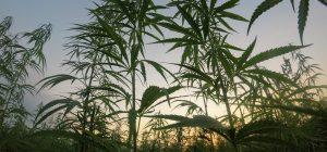 Cassazione, reato commercio derivati da cannabis. Coldiretti, non è  solo fumo