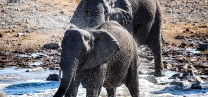 L'evoluzione degli elefanti africani. Senza zanne per difendersi dai bracconieri