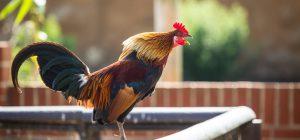 Il canto del gallo Maurice disturba i vicini.  A processo la proprietaria.