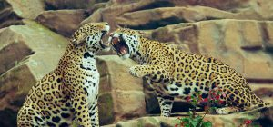 Selfie pericoloso col giaguaro allo zoo: donna attaccata e ferita