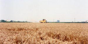 Centro Italia: Coldiretti, crolla produzione grano e latte