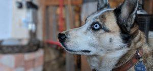 Amore incondizionato: husky percorre 2000 km dopo morte della padroncina