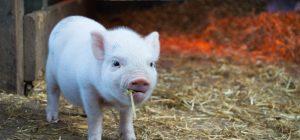 Capodanno cinese, è l'anno del maiale