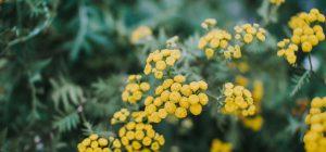 8 Marzo: mimose e fiori per 1 donna su 3