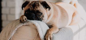 I cani fanno gli occhi languidi per intenerire come i bambini. Lo dice la scienza