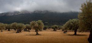 Maltempo: olive a terra ed ortaggi abbattuti. E' calamità