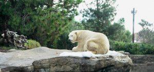 Cambiamento climatico: a farne le spese soprattutto gli orsi bianchi