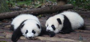 E' boom di baby panda. A Chengdu nati 7 cuccioli
