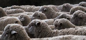Senza pastori la Sardegna muore.