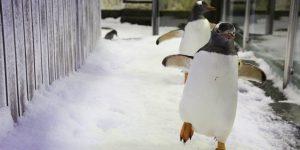 I pinguini gay che si sentono famiglia ... stanno facendo innamorare il mondo