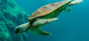 Ricompensa in denaro per i pescatori che salvano una tartaruga