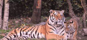 29 luglio: Giornata Mondiale della Tigre, ne restano solo 3.890 in 13 Paesi