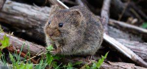 Lo strano caso del suicidio massiccio di topi in Olanda.
