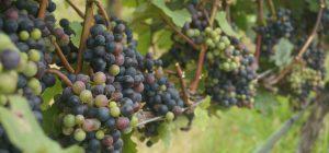 Vino: vendemmia doc spinge record storico export