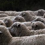 Maltempo: migliaia di mucche, pecore e capre a rischio