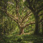 L'albero più vecchio del mondo rivela il segreto della longevità