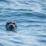 Foca monaca nelle acque del Salento. Subito una grande area marina protetta