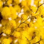 Smog: città inquinate e mimose già in fiore