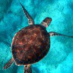Tartaruga Yoshi celebra la libertà con una nuotata record di 35.000 km