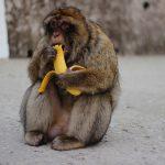 Thailandia: diventa virale il video di centinaia di scimmie affamate