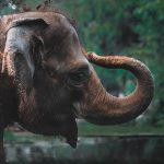 Anche gli elefanti si ubriacano. Bevono 30 litri di vino e ...