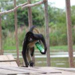 Scimmie invadono hotel e approfittano di una piscina per fare i tuffi e il bagno