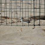 WWF: in Abruzzo Guardia Costiera e volontari monitorano i nidi di Fratino