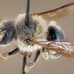 Le api blu credute estinte esistono ancora! Raro esemplare avvistato in Florida