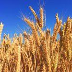 Caldo: Coldiretti, sos grano. Raccolta al via con -20%