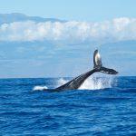 Tasmania: Sos balene, 90 delle 270 spiaggiate sono morte