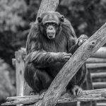 Coronavirus: positivi alcuni gorilla dello zoo di San Diego