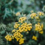 Maltempo: caldo al Sud fa sbocciare mimose 2 mesi prima