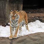 Animali: WWF, tigre avvistata a 3.165 m. in Nepal orientale