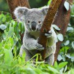 Giornata Mondiale del Koala: WWF, in 30 anni raddoppiare la popolazione