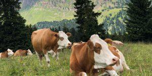 Furgone perde .... la mucca per strada. Il video diventa virale