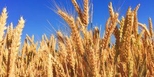 Vola il prezzo del grano. Sorpassa il petrolio