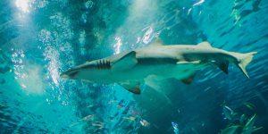 Nel mare del Salento filmato un grosso esemplare di squalo grigio
